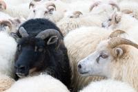 Schwarzes Schaf in einer Herde