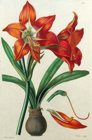 """Handkolorierter Kupferstich aus dem """"Thesaurus botanicus"""" von Leopold Trattinnick"""