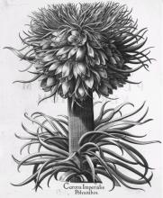 """Pflanzenabbbilung aus Basilius Beslers """"Hortus Eystettensis"""" von 1713"""